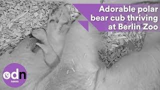 Adorable polar bear cub thriving at Berlin Zoo Video