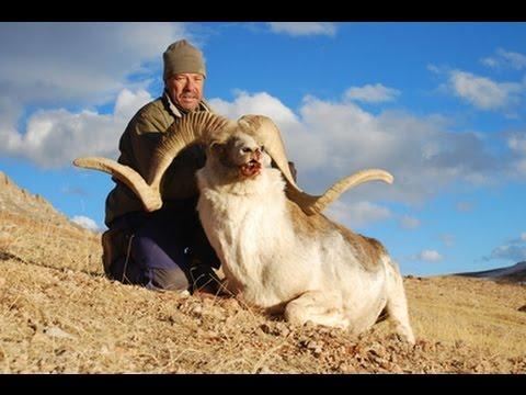Marco Polo Hunting (Ovis Ammon Polii) - Tajikistan