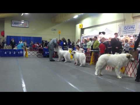 Great Pyrenees AKC Dog Show