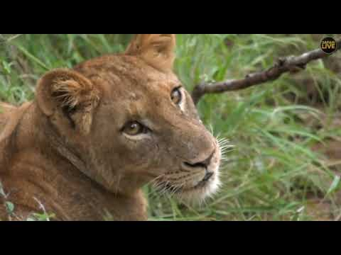 Wild Africa Torchwood pride James H is back and bush baby`s 11 April 2018