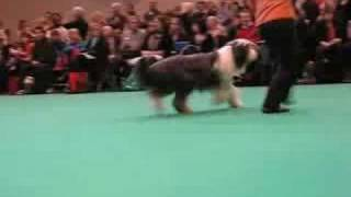Dog Classes - Bearded Collies - Crufts 2008