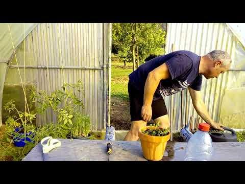 Comment bouturer le thym réponse à une question d'un jardinier