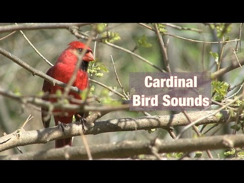 Cardinal Bird Sounds