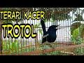 Terapi Burung Kacer Trotol Masteran Kacer Untuk Pancingan Kacer Macet Bunyi  Mp3 - Mp4 Download