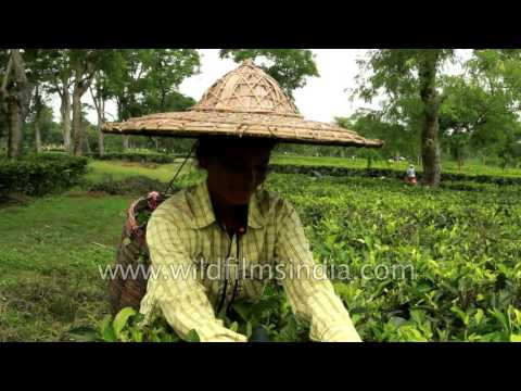 Assamese Tea Garden Worker Wears Wide-brimmed Sun Hat Near Jorhat