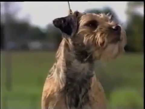 Border Terrier - ボーダー・テリア - AKC Dog breed series