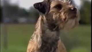 Border Terrier - ボーダー・テリア - American Kennel Club - Dog bree...