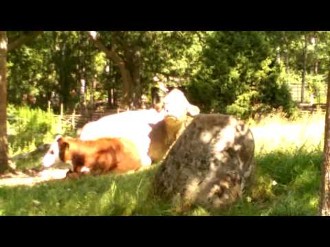 Funny cow at World of Astrid Lindgren- Sweden