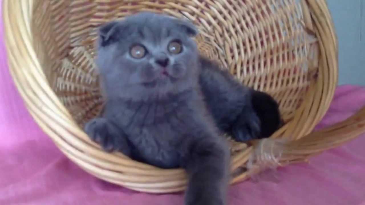 шотландского голубого вислоухого кота