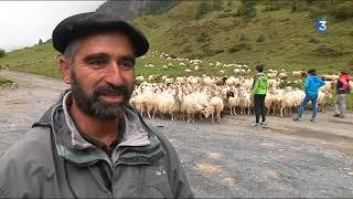 Dans les Pyrénées, c'est la fin des estives pour les brebis
