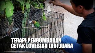 DUNIA HOBI : Terapi Kandang Umbaran Bikin Lovebird Ngekek Panjang