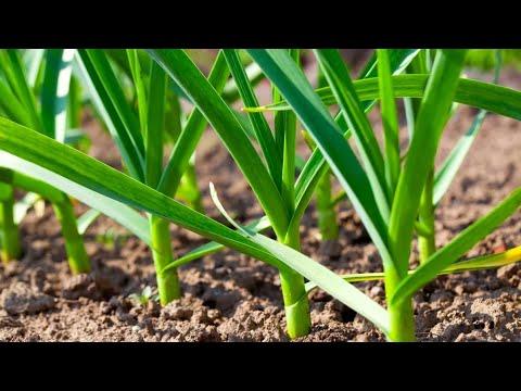 Последняя, важная подкормка чеснока и несколько хитростей для увеличения урожая!