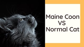 Maine Coon Cat VS Normal Cat