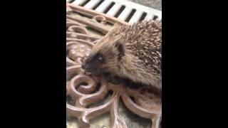 Baby Hedgehog Toilet Training