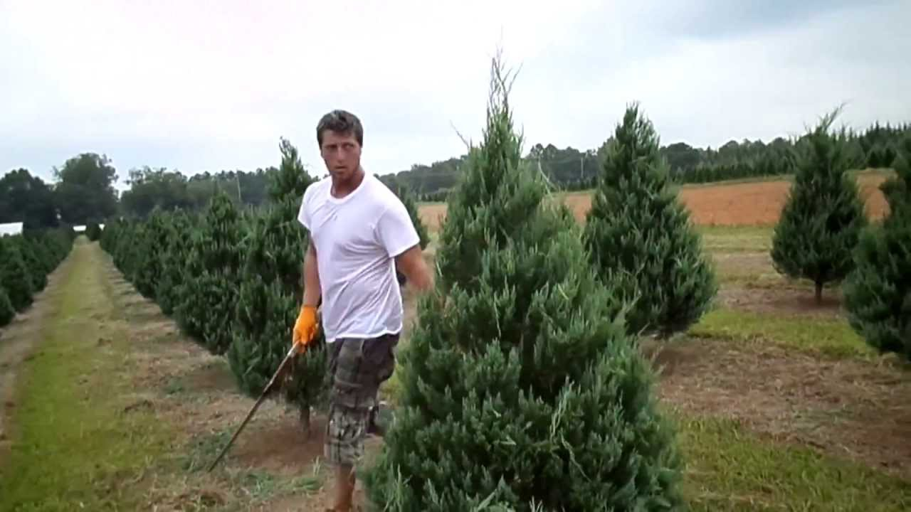 Trimming A Christmas Tree