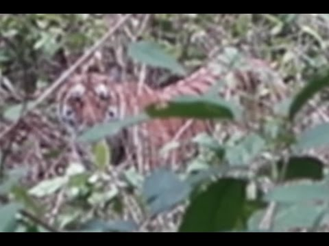 TIGER SPOTTING - Jim Corbett National Park | TOP TIPS for North India | India Travel vlog