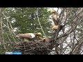 Белоплечий орлан с семейством угнездился в парке