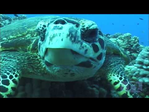 Rare Hawksbill Sea Turtle Maui