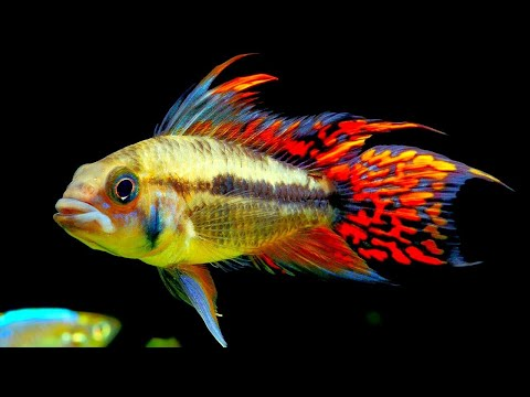 Top 5 Centerpiece Fish for your small to medium sized Community Aquarium.