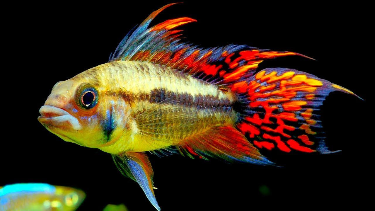 Top 5 Centerpiece Fish For Your Small To Medium Sized Community