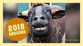 94 Animals Rescued in ONE YEAR | Goats of Anarchy