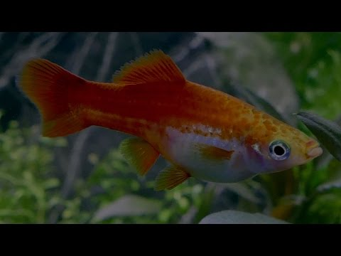 An Interesting Fact About Female Swordtail Fish - Professor Steve Jones