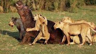 2LA PELIGROSA MIGRACIÓN ANIMAL - Leones cazando, Zona de Guerra