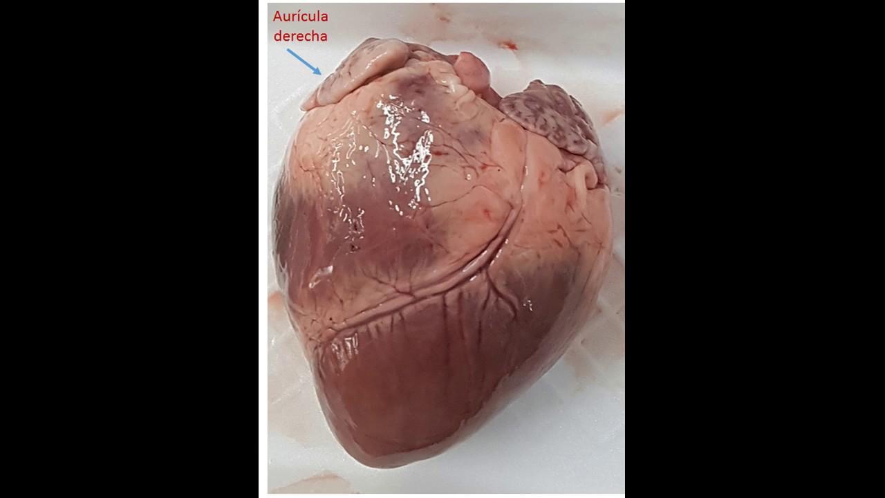 Anatomía de un corazón real - YouTube
