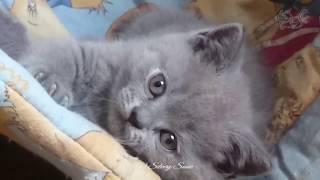 Голубой британский котик Xenios.