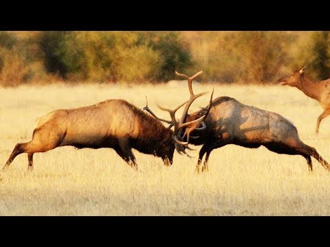 Combat de wapitis impressionnant - ZAPPING SAUVAGE