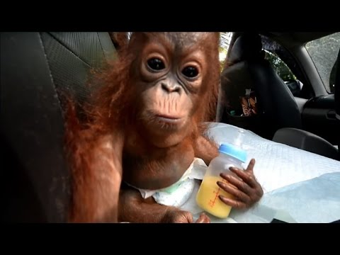"Gut gemocht A Bornéo, un bébé orang-outan ""animal de compagnie"" sauvé - YouTube HW23"