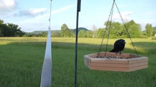 Grackle At Backyard Bird Feeder
