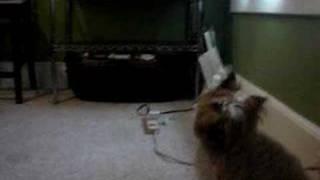 Stubborn Twinkie (cairn Terrier)
