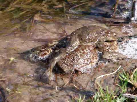 two frogs near the Moscow. две лягушки в Подмосковье.