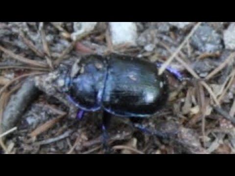 Dung beetles!