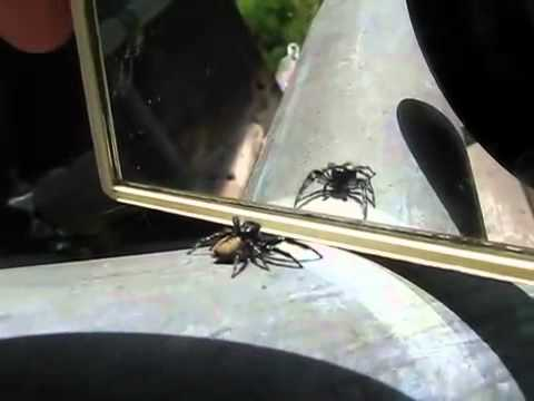 Jumping spider shadowboxes against mirror image