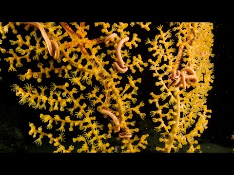 Jewels of the Gulf: Deepwater Expedition ROV Live Stream