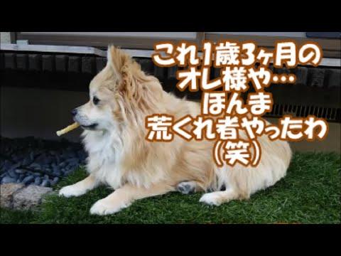 すぐキレるポメラニアン 番外編(キレっキレの若き日のコタ他)