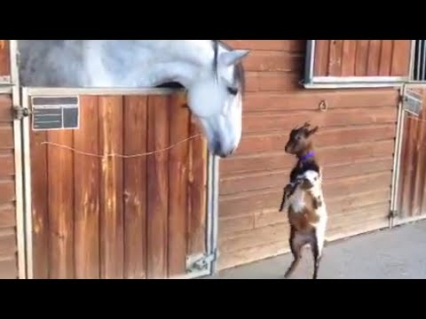 Baby Goat Meets Horse | Animal Best Friends