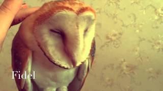 Как гладить сову ... Сова Фидель любит нежность!(Совы очень любят ласку и нежность! Они воздушные, мягкие, чудесные! Смешное видео с совой! Owls are very fond affection..., 2015-06-11T12:37:00.000Z)