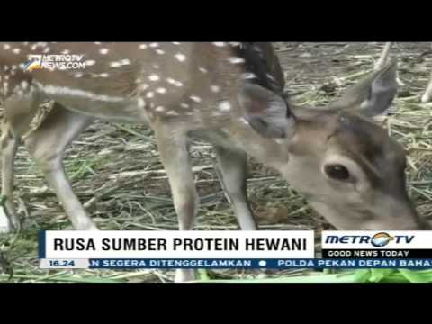 Kandungan Protein Daging Rusa Lebih Tinggi dari Sapi - YouTube