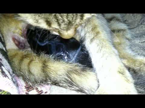cat giving birth to one kitten - HD