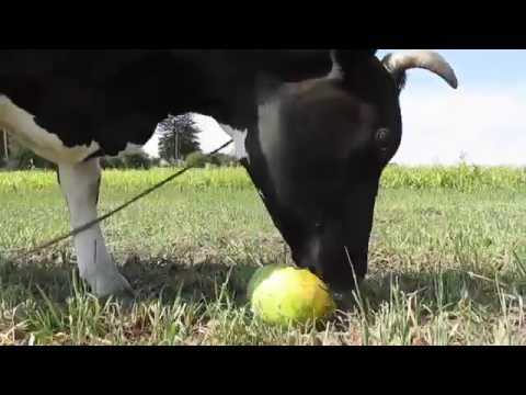 Как корова ест