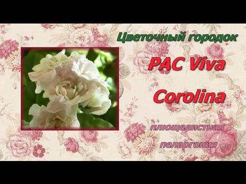PAC Viva Corolina плющелистная пеларгония  Цветочный городок
