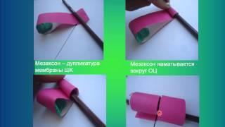 видео Мышечные волокна: виды, свойства, структура
