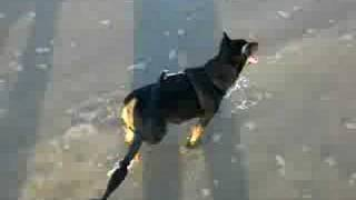 The Min Pin Plays On The Beach.