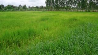 UdonThani Rice flieds for sale large or small  open to offers