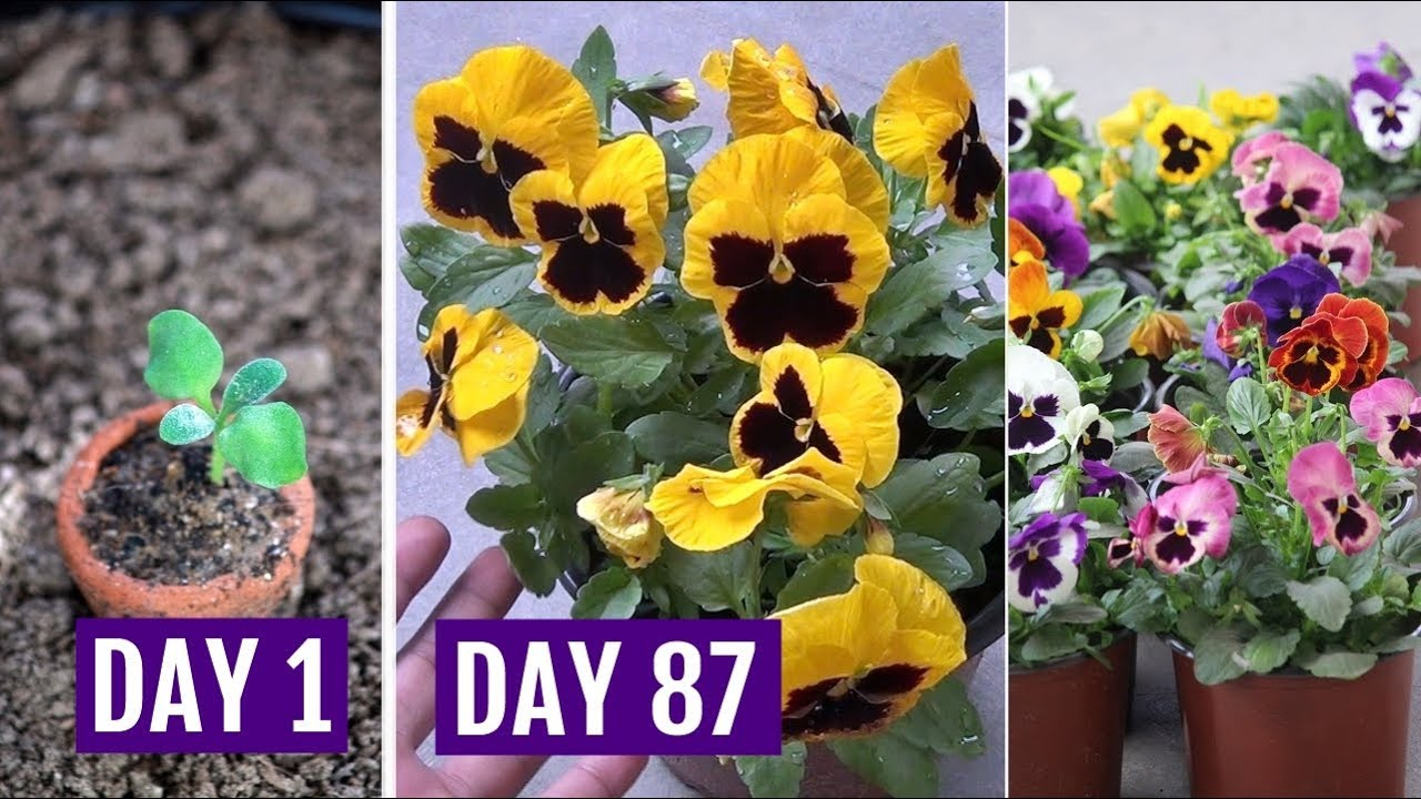 how to care for pansies in pots