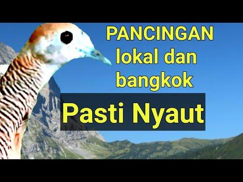 Suara Perkutut Lokal dan Bangkok - pancingan jantan dan betina