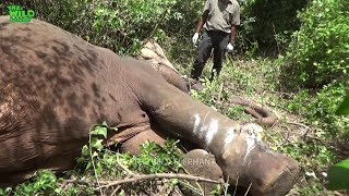 An elephant targeted by the trappers being saved and given a chance to live
